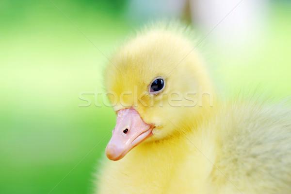 Cute mullido Chick 7 días edad Foto stock © taden