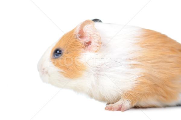 Stock fotó: Tengerimalac · barna · fehér · izolált · természet · állatok