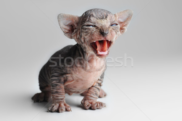 cute bald baby cat close up Stock photo © taden
