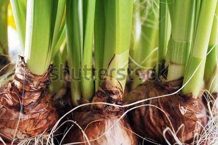 Abrótea vaso jovem flores verde folhas Foto stock © taden