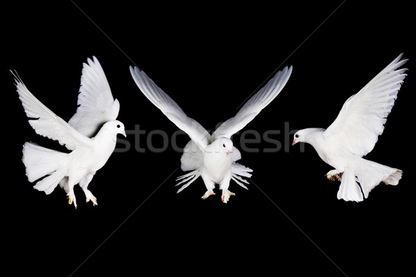 white pigeon and  hand Stock photo © taden