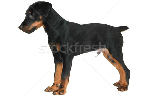 small doggy Stock photo © taden