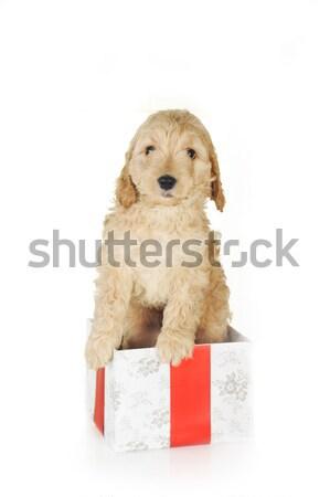 子犬 ギフトボックス ベージュ 孤立した ボックス 動物 ストックフォト © taden