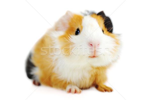 Tengerimalac barna fehér izolált természet állatok Stock fotó © taden