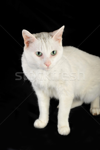 white domestic cat Stock photo © taden