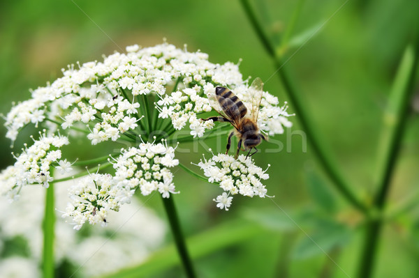 Mel de abelha macro tiro pólen Foto stock © taden