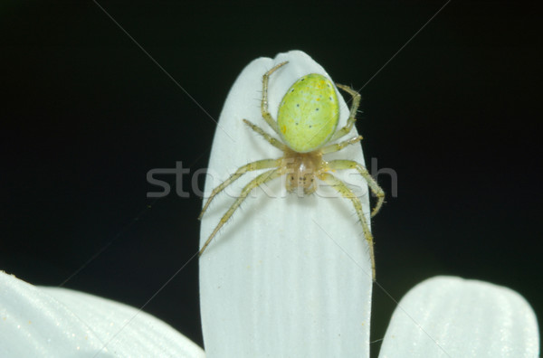 green spider Stock photo © taden