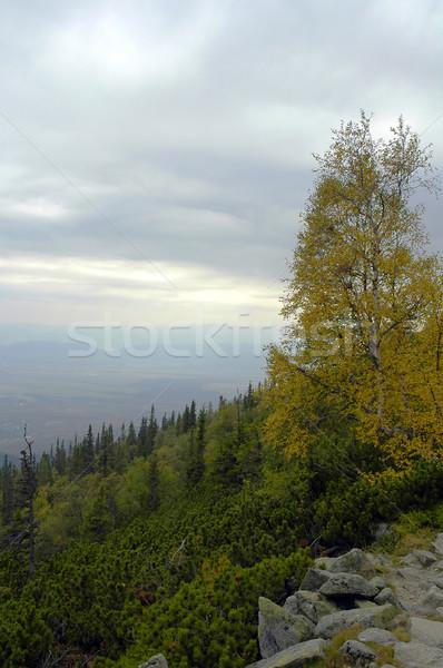 birch Stock photo © taden