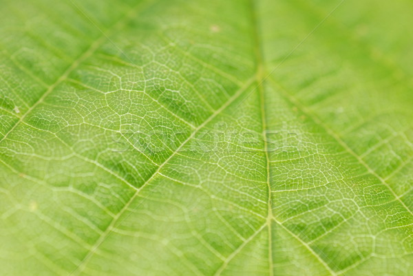 textured green leaf Stock photo © taden