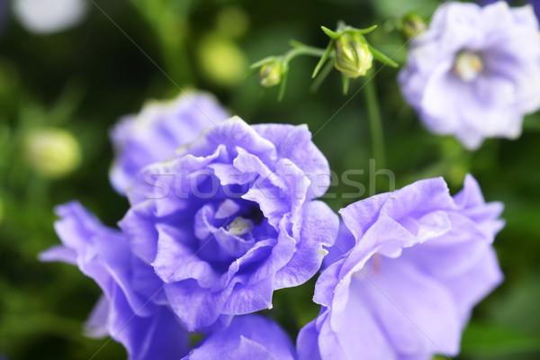 Primer plano azul belleza ramo brillante Foto stock © taden