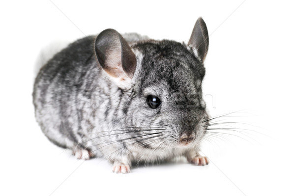 Gris Nice chinchilla blanche jouet animaux Photo stock © taden