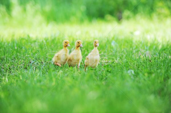 Tres mullido pollitos hierba verde hierba nino Foto stock © taden