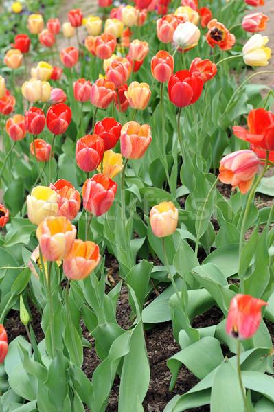 Czerwony żółty tulipany ilość typowy Zdjęcia stock © taden