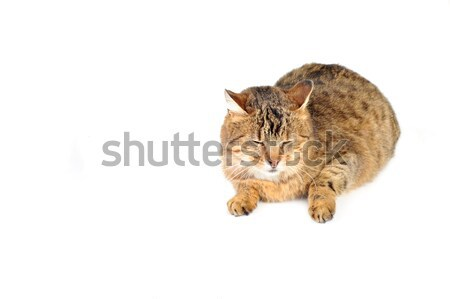 domestic cat Stock photo © taden