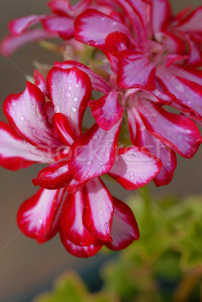 small beautiful flowers  Stock photo © taden