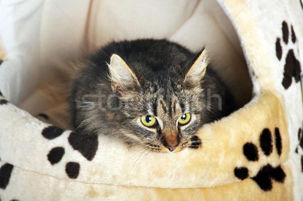Stock fotó: Szürke · csíkos · macska · fiatal · imádnivaló · aranyos