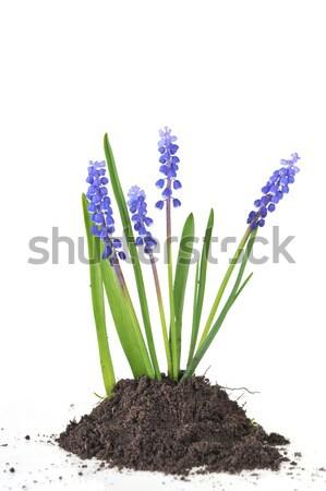 hyacinth flower Stock photo © taden