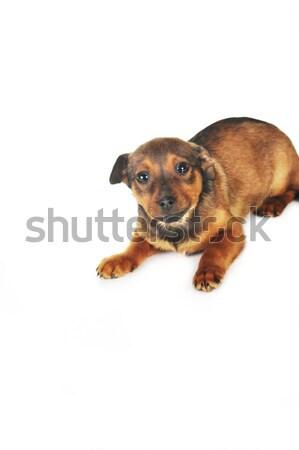 коричневая собака Cute волос животные студию красивой Сток-фото © taden