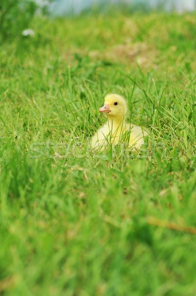 ördek yavrusu sevimli kabarık Paskalya oturma çim Stok fotoğraf © taden