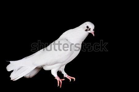 Bianco piccione sedersi legno amore Foto d'archivio © taden