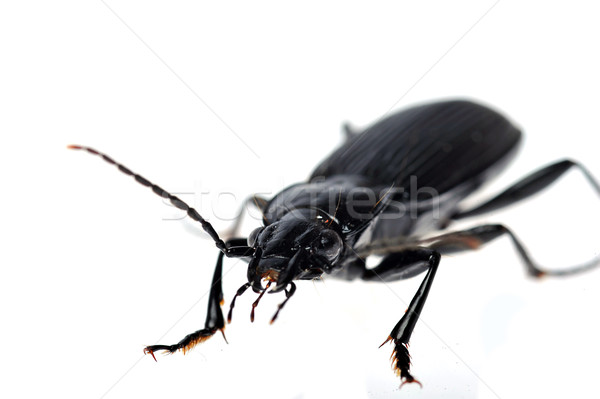 black beetle very close up  Stock photo © taden