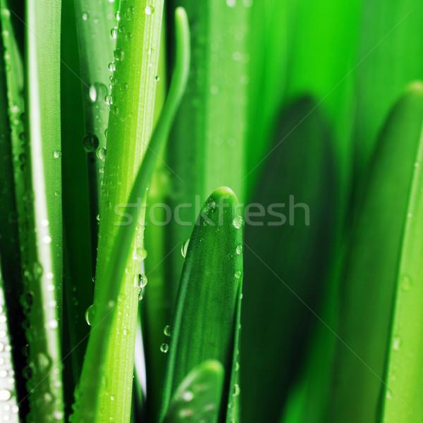 Foglie verdi rugiada fresche pioggia verde Foto d'archivio © taden
