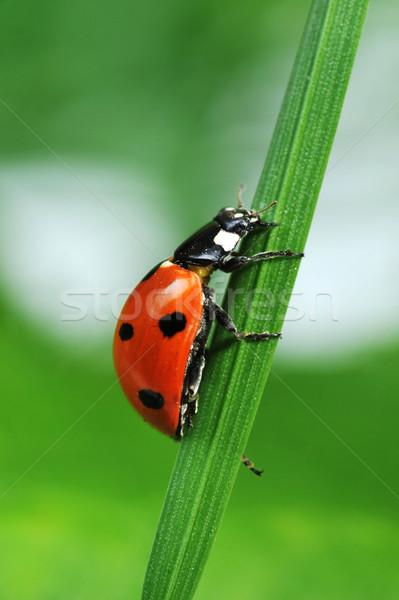 Katicabogár fű piros katicabogár hét fekete Stock fotó © taden