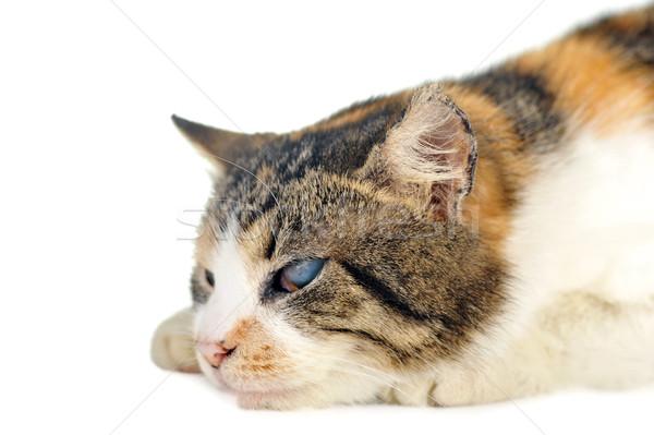 Kedi sevimli yalıtılmış saç portre hayvanlar Stok fotoğraf © taden