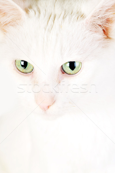 white domestic cat Stock photo © taden