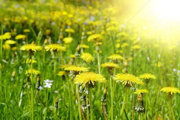 landscape of yellow dandelion fielad Stock photo © taden
