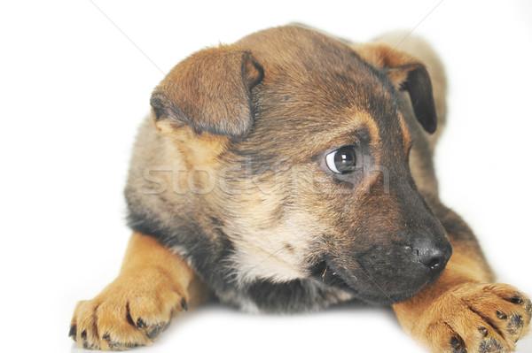 Сток-фото: коричневая · собака · волос · животные · студию · красивой · домашние