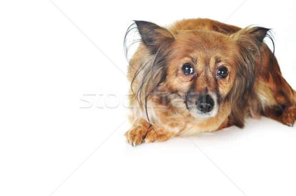 Сток-фото: коричневая · собака · волос · животные · студию · красивой