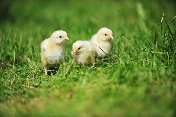 3  ふわっとした 雛 緑の草 草 子 ストックフォト © taden