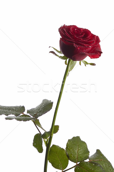 red rose  Stock photo © taden