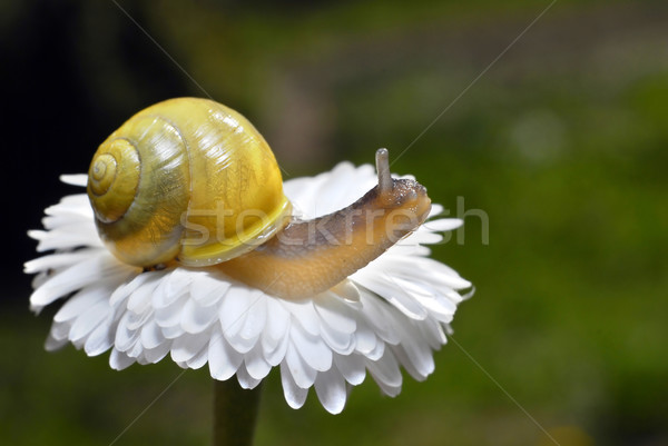 Photo stock: Escargot · fleur · blanche · faible · alimentaire · herbe · jardin
