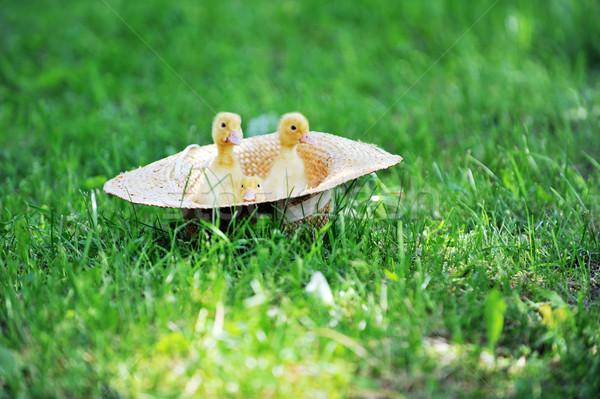 Kabarık üç sevimli oturma hasır şapka çim Stok fotoğraf © taden