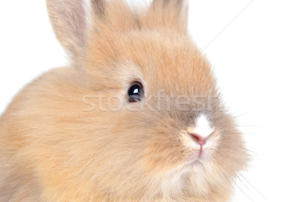 Brun pelucheux lapin nature animaux couleur Photo stock © taden