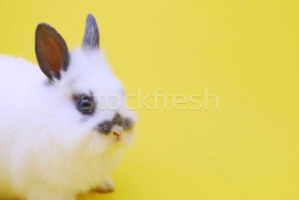 small rabbit Stock photo © taden