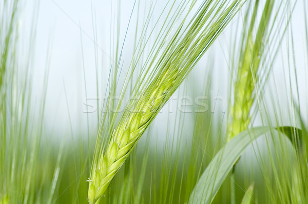 Rozs közelkép égbolt étel egészség zöld Stock fotó © taden