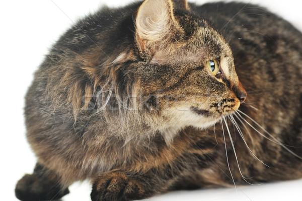 Szürke csíkos macska hazugságok izolált haj Stock fotó © taden