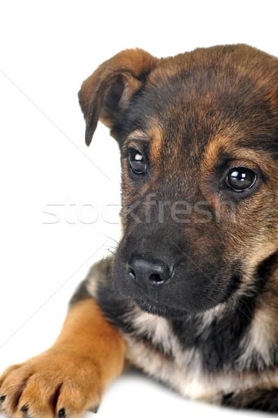 Perro marrón pelo animales estudio hermosa mascotas Foto stock © taden