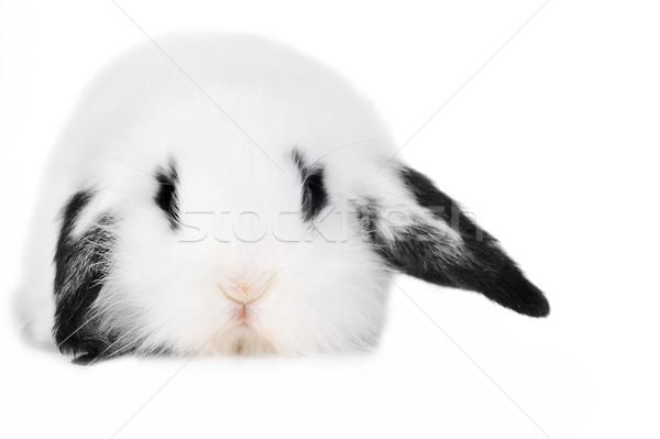 美しい ウサギ 小 白 パーティ 肖像 ストックフォト © taden