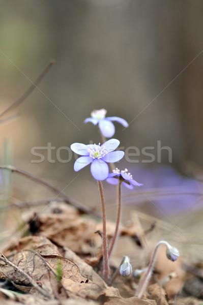 開花 春 森林 林間の空き地 美 青 ストックフォト © taden