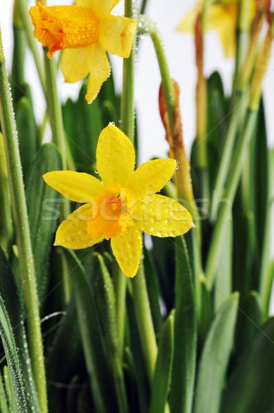 Amarillo narcisos hojas flores primavera Foto stock © taden