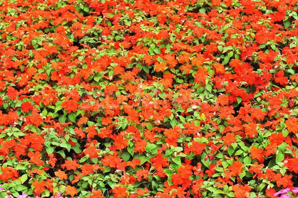 Czerwony lata ogród krajobraz miasta parku Zdjęcia stock © taden