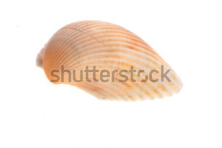 sea cockleshell lies on white  Stock photo © taden