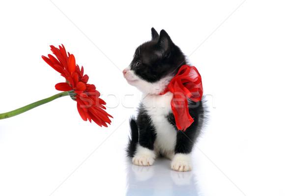 Piękna mały kotek odizolowany biały tle Zdjęcia stock © taden
