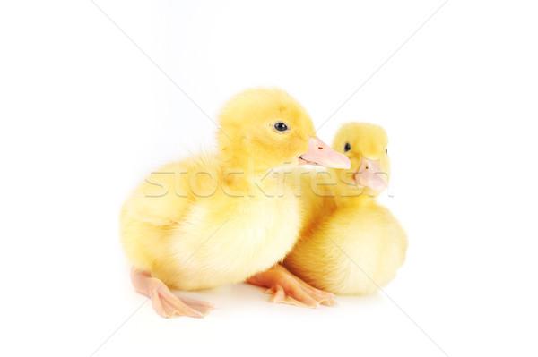Citromsárga bolyhos kettő kicsi tavasz madár Stock fotó © taden