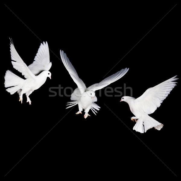 Beyaz güvercin el güzel kadın Stok fotoğraf © taden
