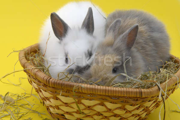 small rabbits in basket Stock photo © taden